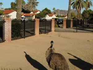 Emus-traffic(415)