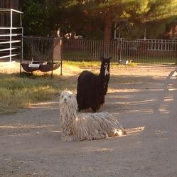 llamas(39)-cr