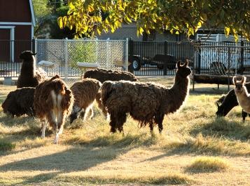Llamas(413)